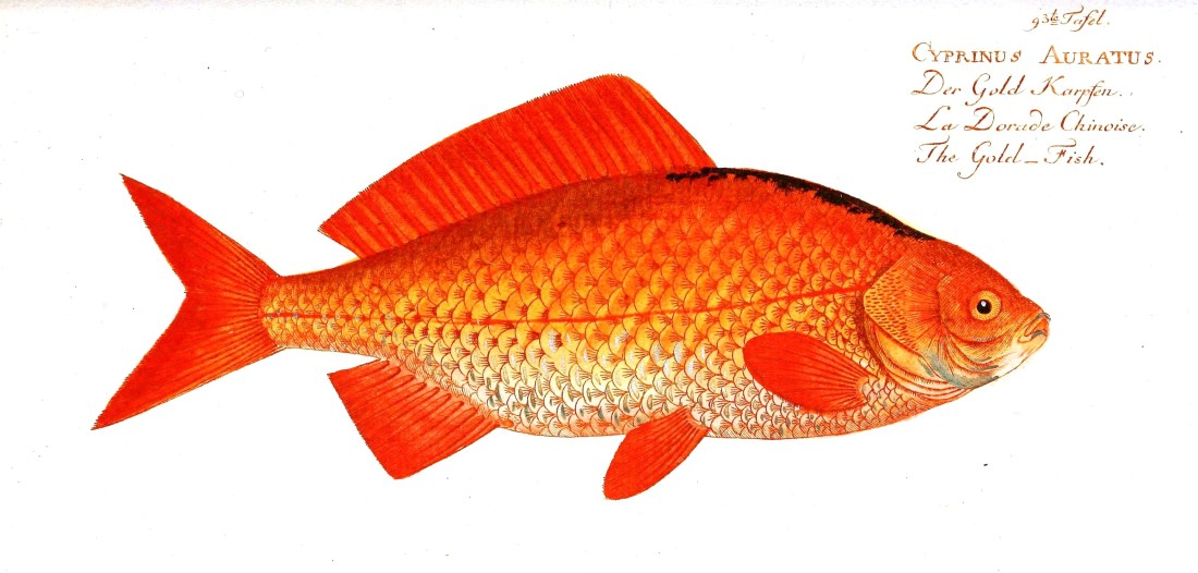 Animal-Fish-Orange-fish