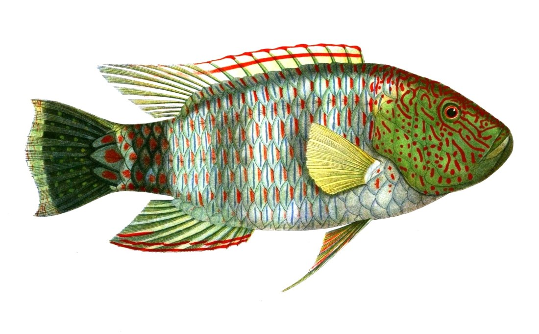 Animal-Fish-Red-squiggles