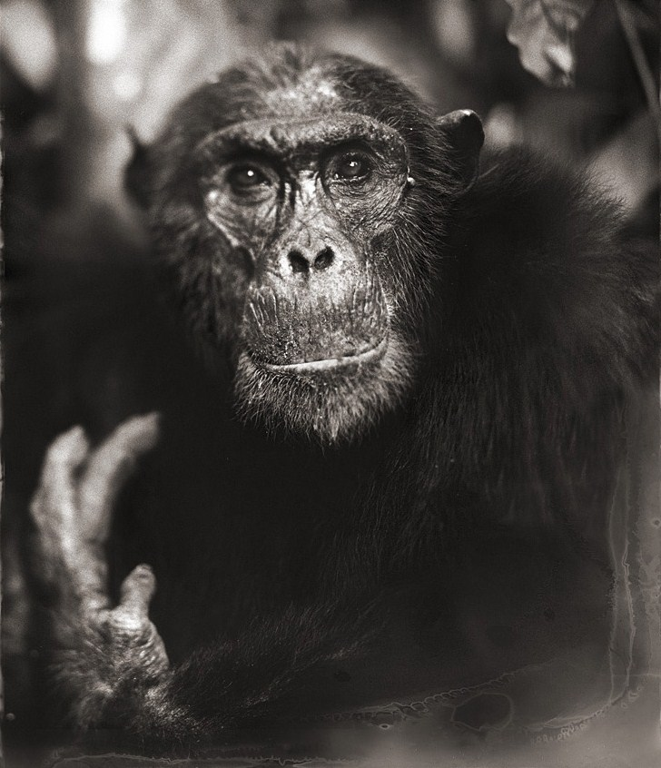 22-Chimp-Portrait-With-Hand-II