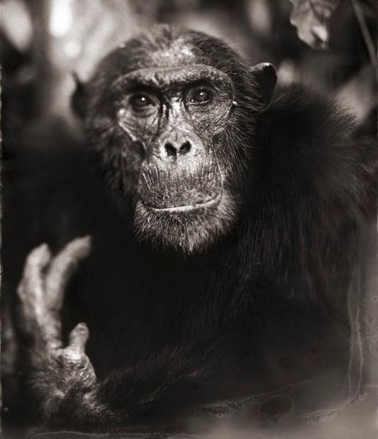 22-Chimp-Portrait-With-Hand-II