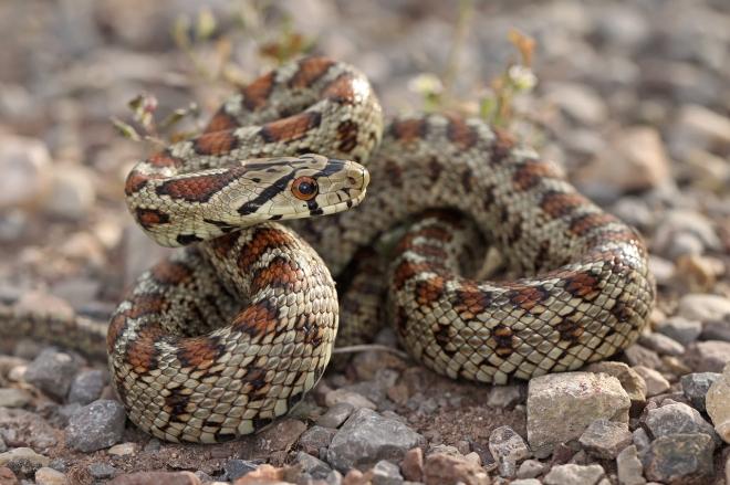 leopard_snake_by_elkapl-d3izici