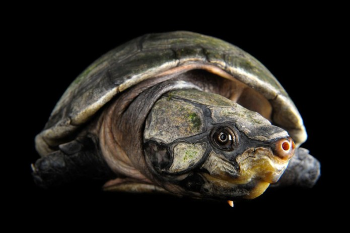 02-amazon-river-turtle-950