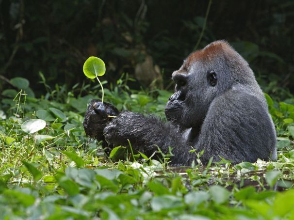 91576-silverback-gorilla-leaves-africa_25307_990x742.1292592635