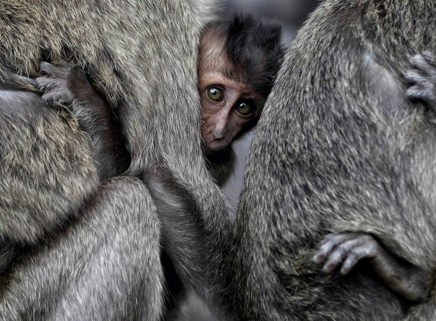 Monkeys_Indonesia-National_Geographic_Wallpaper_1280x1024