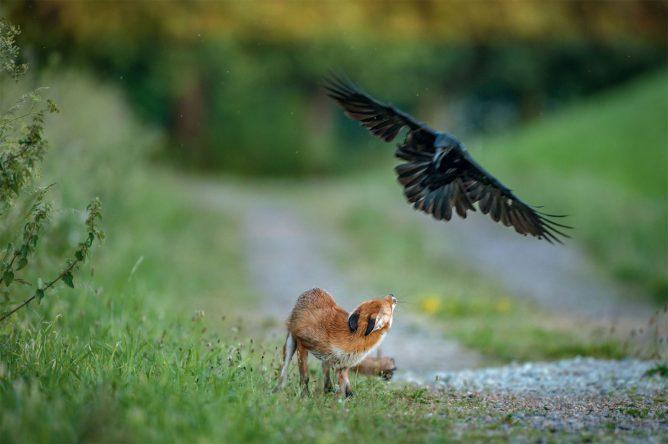 jeune-renard-houspille-par-une-corneille-1800x1198